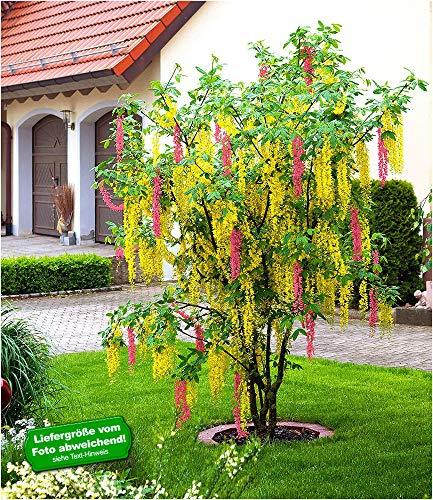 BALDUR-Garten Chimären-Goldregen, 1 Pflanze Laburnocytisus adamii Edel Goldregen