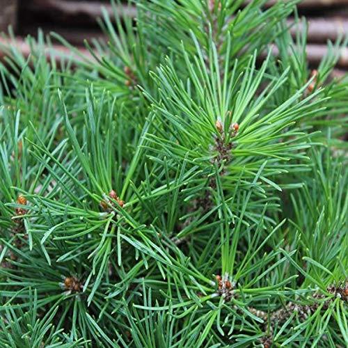 Pinus Mugo 'Mops'- Pin mugo;Pin de montagnes 15-20 cm en conteneur