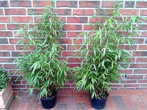 5 Stück Bambus, 80-90 cm, Fargesia murielae Jumbo, winterhart und sonnenfest