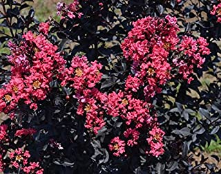 2-3' Tall Midnight Magic Crape Myrtle, Lagerstroemia, Attractive Dark Foilage and Red Flowers a Spectacular Flowering Perennials, 2-3' Tall Potted Plant, Flowering Bush, Shrub, Tree