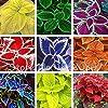 24 style de couleur différente Rare style russe du bonsaï pot Coleus maison jardin 40PCS graines de bricolage #1