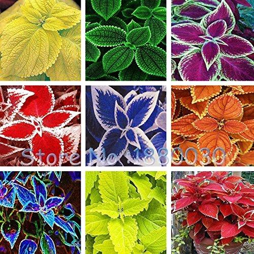 Seltene 24 verschiedene Farbstil der russischen Art von Bonsaischale Coleus Samen DIY Hausgarten 40PCS