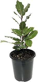 Ohio Grown Sweet Bay Laurel Herb - Laurus nobilis- 4