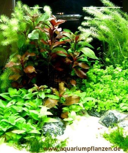 Mühlan Wasserpflanzensortiment für Anfänger und Neuaquarianer, pflegleicht, dekoativ, wiederstandsfähig inkl. Dünger