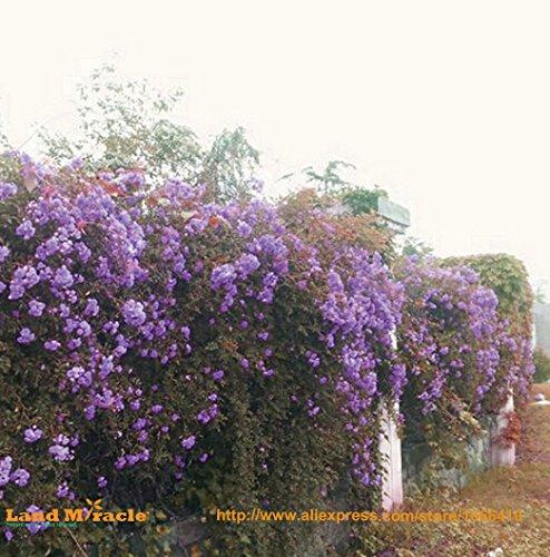 Outdoor Pflanzen Lila Kletterrose Samen, 20 Samen/Pack, Erbstück Chinesische Rose Blumensamen Rosa Rugosa