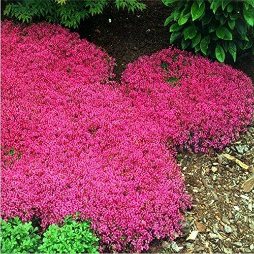 100pcs / bolsa de semillas de tomillo rastrero o semillas de berro de roca azul - flor superficie del terreno perenne, de crecimiento natural para el jardín de 2