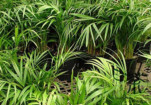 Bamboo Palm Chrysalidocarpus Lutescens Graines 60pcs, Graines Papillon Palm Dypsis Lutescens, Jaune Areca Palm San Wei Kui Seeds
