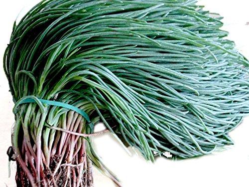 Agretti,Oka Hijiki Seeds - Land Seaweed,Saltwort, european, Asian Speciality (1 Gram- Approx 275 Seeds)