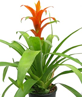 Orange Jazz Blazing Star Vase Plant - 5