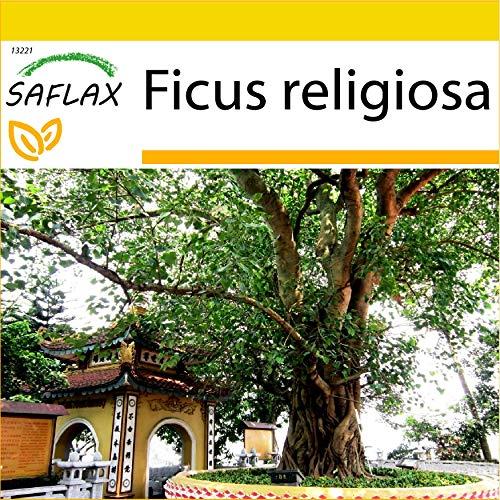 SAFLAX - Buddha-Feige/Bodhi-Baum - 100 Samen - Ficus religiosa