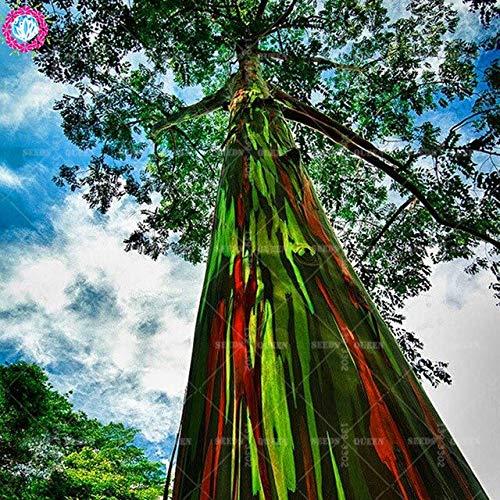 Samen-Paket: 200pcs / Bag seltene Regenbogen Eucalyptus Deglupta, Samen, Bonsai Seed für Haus & amp; Garten Seeding: 4
