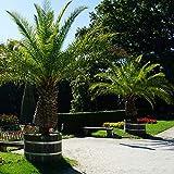 Pair of Phoenix Palm Plants Drou...