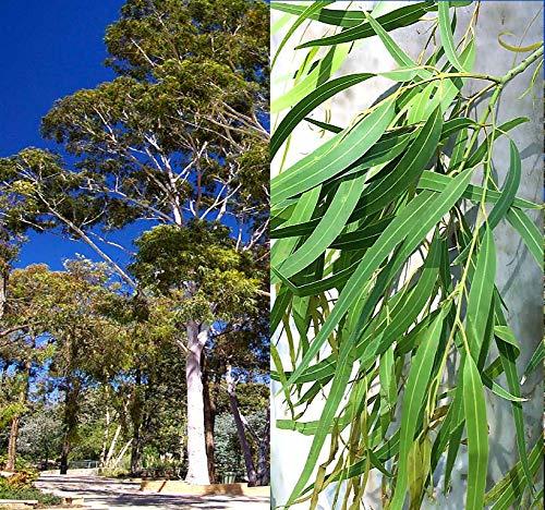 Big Pack - (1,000) Eucalyptus Corymbia citriodora Tree Seeds - aka Lemon-Scented Gum - Non-GMO Seeds by MySeeds.Co (Big Pack - Eucalyptus Lemon Scentd Tree)