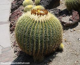 Golden Barrel Cactus Seeds (Echinocactus grusonii) 5+ Rare Seeds + FREE Bonus 6 Variety Seed Pack - a $29.95 Value! Packed in FROZEN SEED CAPSULES for Growing Seeds Now or Saving Seeds For Years