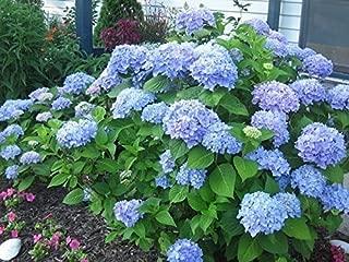 Nikko Blue Hydrangea - Full Gallon Pot