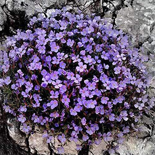 Steelwingsf Gartenblumen Samen Für Das Pflanzen Im Freien, 500 Stück/Beutel Rock Cress Samen Einfach Zu Züchten Bodendecker Blume Mehrfarbige Grünlandpflanzensamen Für Den Rasen Helles Lila