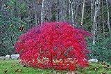 Red Laceleaf Weeping Japanese Maple Tamukeyama Tolerates Sun - 2 Year Live Plant