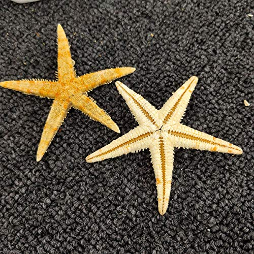 12 Extra Large Size Starfish - Tan Flat Sea Stars (3.3' - 4.3' / 85-110 mm), Beach Crafts, Wedding Invitations
