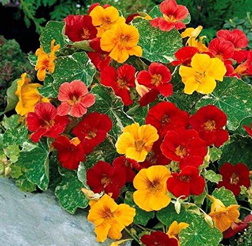 Lot de 15 Graines Capucine naine à fleurs simples Tom Thumb Mix Mix fleur annuelle hauteur 180 cm 1m80 coloris jaune rouge orange