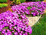 100 pc / bag sale! delosperma cooperi table mountain tasty facile bonsai vegetale giardino domestico di diy pianta che cresce La confezione contiene 1 set Effettivamente spedire a tutti i consigli Tipo di prodotto: semi
