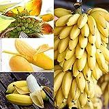 LEANO Banana Seeds,Dwarf Banana Tree Seeds Mini Bonsai Fruit Exotic Seeds for Home Garden
