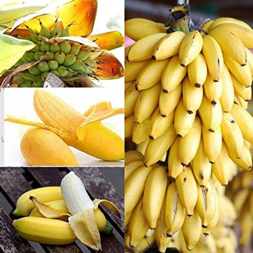 Qulista Samenhaus – Raritäten BIO Banane Bonsai schnellwachsend Obst Saatgut mehrjährig winterhart Exotik für Terrasse und Balkon - 2
