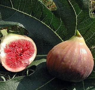 Hirt's Violet De Bordeaux Negronne Edible Fig Plant - Ficus carica - 2.5
