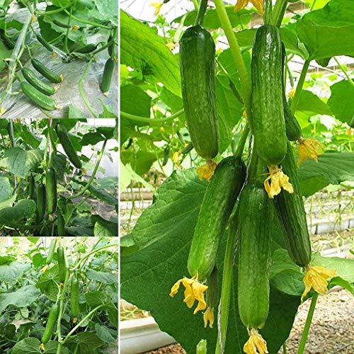 Ultrey Samenshop - Bio Gurken Samen Mini-Gurke Snack Gemüse Obst Samen ertragreich mehrjährig winterhart für Garten Balkon/Terrasse