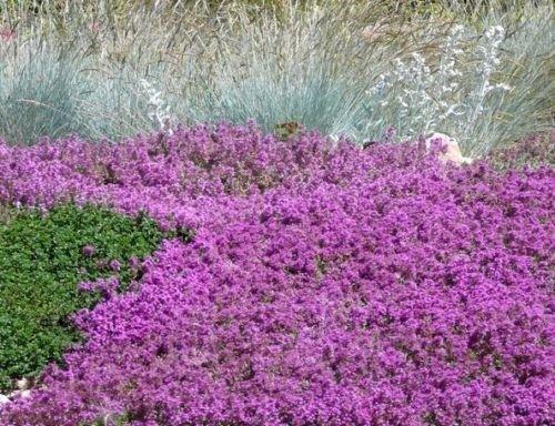 Semillas de flor - 100 semillas de la madre de tomillo rastrero Semillas Semillas de cobertura del suelo de la herencia no GMO Semillas