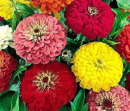 Dahlia Zinnia Mix Flower Seeds, 500+ Premium Seeds, Fantastic Addition to Your Home Flower Garden!, (Isla's Garden Seeds) 70-80% Germination, Highest Quality Seeds