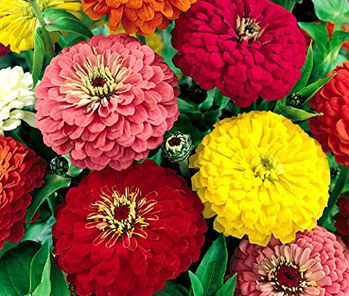 Dahlia Zinnia Mix Flower Seeds, 500 Heirloom Flower Seeds Per Packet, Non GMO Seeds