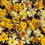 30 X Narcisi Misti - Daffodil Mix - Bulbi Alta Qualità (30)