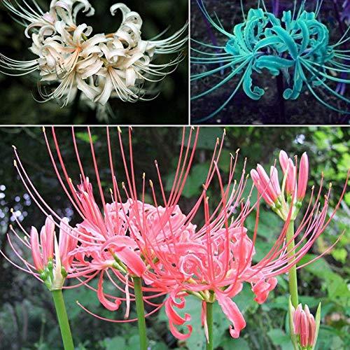 ScoutSeed 5 gemischte Zwiebeln Lycoris Radiata Spinnenlilie Lycorisknolle Gartenblume Pflanzensamen