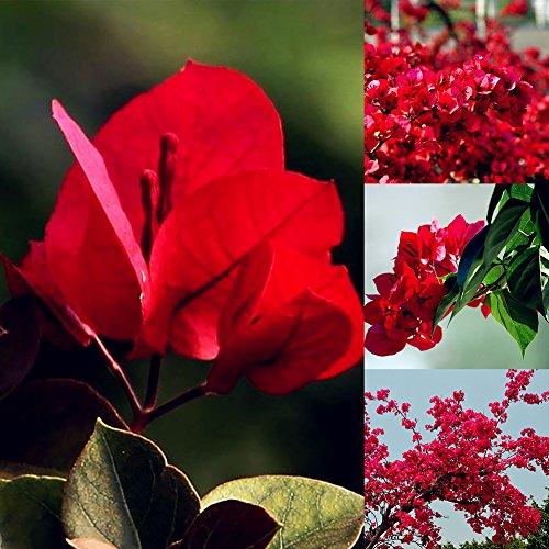 lamta1k 20Pcs Semillas de Flores de buganvilla roja Calidad de Las Plantas Ornamentales y Alta tasa de Supervivencia Decoración de jardín de jardín - Semillas de buganvilla roja