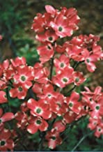 red pygmy dogwood tree