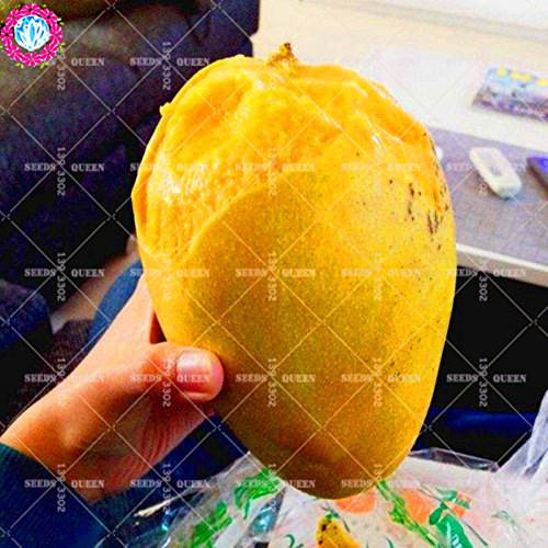 11.11 Big Promotion! 2 pcs / lot géant graines de mangue graines de fruits de jus en pot dans le jardin et la maison plante herbacée vivace organique aweet
