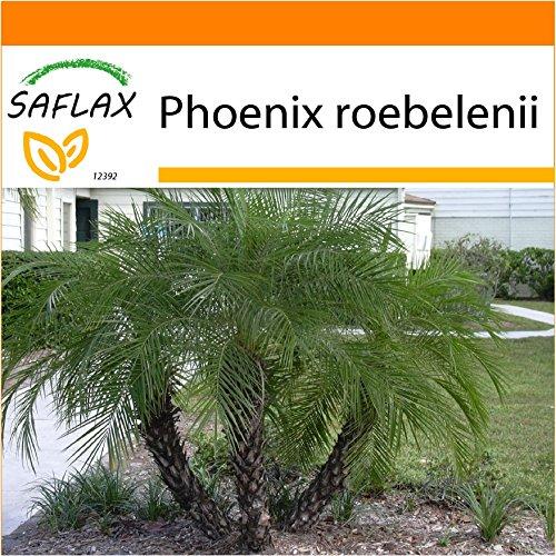 SAFLAX - Garden in the Bag - Palmera datilera enana - 25 semillas - Con sustrato de cultivo en un sacchetto rigido fácil de manejar. - Phoenix roebelenii