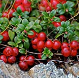 Berg Cranberry 50 Samen Preiselbeere Wildfrucht Essbare Comb I62