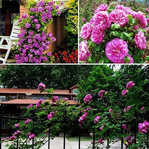C-LARSS 100 Stück/Beutel Klettern Rosensamen Schnell Wachsende Bunte Pflanzen Gartenpflanzen Samen Intensiver Rosenduft Für Yard Lila Rosensamen