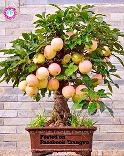 Semillas 30PCS Bonsai árbol enano semillas de árboles super dulce fruta orgánica Planta de interior Planta de tiesto Perenne