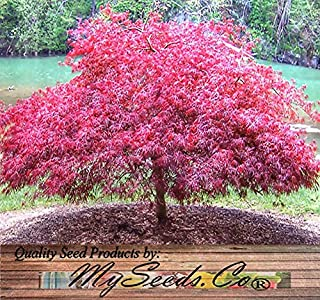 Red Lace Leaf Japanese Maple - ACER palmatum matsumurae Atropurpureum dissectum SEEDS - Quality Seeds By MS.CO