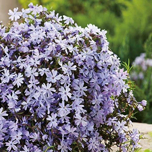 Blaue Staude Polsterphlox -phlox subulata- Bodendecker blaue Blüten immergrün winterhart mehrjährig pflegeleicht - Garten Schlüter - Pflanzen in Top Qualität