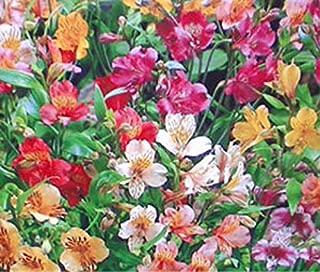Best ligtu peruvian lily Reviews