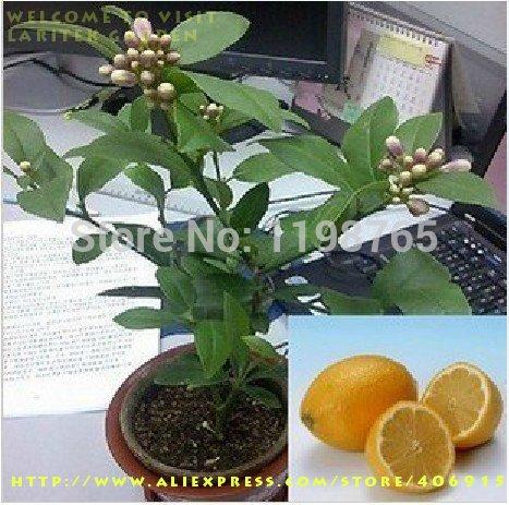 SVI 50 graines du Arbre de citron avec l'emballage hermétiques * intérieur extérieur disponible * semences de l'héritage Fruit semences de citron 49%