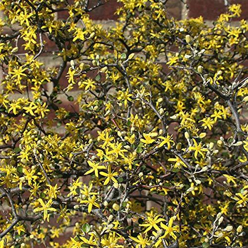 Corokia Cotoneaster - Zickzackstrauch 25-30 cm Pflanzcontainer