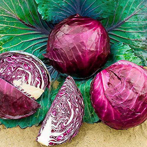 Sharpy 50/100 Pcs Rotkohl Samen Rot/Lila Schattierungen Kohl Gemüsesamen Hausgarten