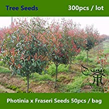 Family Rosaceae Photinia Fraseri 300pcs, Ornamental Fraser Photinia, Broadleaf Evergreen Red Robin
