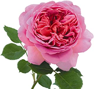 Best garden princess rose Reviews