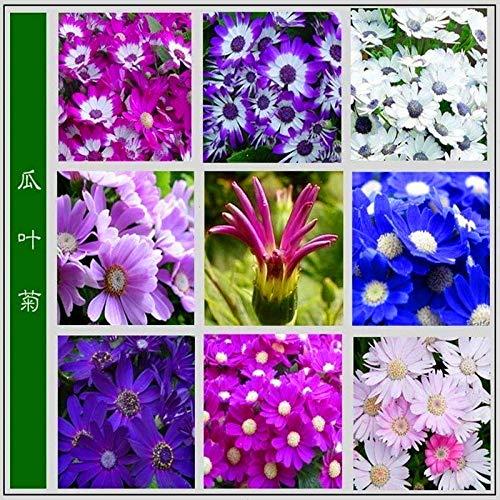 Cineraria cineraria Topfkerne Chrysanthemensamen 300 Tabletten-ausgezeichnet_Blau und weiß 300 Kapseln