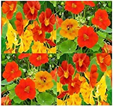Big Pack - Nasturtium Flower Seed Mix (1,000) - Edible Tropaeolum nanum - Spurred, Flat-Faced Trumpet - Used In Cake & Bak...
